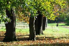 Oak (kh1234567890) Tags: park tree manchester oak pentax plattfields k7 smcpentaxm135mmf35 smcpm135mmf35