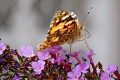 Hairy beast (poilu) (Max Sat) Tags: orange macro eye yellow closeup jaune butterfly eyes fuji oeil yeux papillon il xe1 maxsat xpro1 xf60 fujixe1 maxwellsaturnin