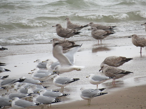 Gulls - Michigan by SpeedyJR