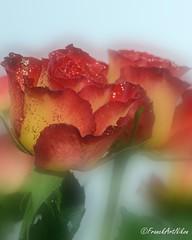 Scintillement de Rose (FranckNikon) Tags: art fleur rose nikon bokeh noel flou artistique paillette d7000 seerule2 ringexcellence