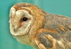 Owl (Paul (Barniegoog)) Tags: bird beak feathers owl
