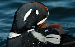 Shy (martytdx) Tags: birds duck birding nj waterfowl barnegat barnegatlighthouse barnegatlight histrionicus anatidae harlequinduck histrionicushistrionicus seaduck