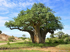 Baobab Tree (Adansonia digitata)