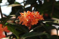 FP135 (blackamaral) Tags: flores planta folhas brasil flora mt natureza amricadosul amricalatina agricultura ecologia botnica readepreservao regiocentrooeste coleobrasil coleoflora coleomatogrosso