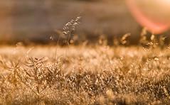 Bokeh (Kyle Chaisson) Tags: california morning pink orange sun field grass yellow sunrise canon eos golden bokeh magic tail explore hour lensflare flare sacramento fullframe dslr topf150 ff magichour goldenhour 135mm 1000views yellowtail eldoradocounty 10000views 5000views 135mmf2l explored 7000views 100favs canon135mmf2l canon5dclassic beyondbokeh kylechaisson