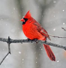Cardinal in snow (carpingdiem) Tags: birds cardinal indianapolis