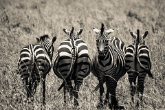 Be different (PloPh) Tags: africa wild bw naturaleza byn blanco nature animal fauna tanzania different negro natura wb zebra animales serengeti cebra salvaje mygearandme tufototureto 20tfbnysepia
