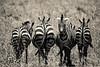 Be different (PloPh) Tags: africa wild bw naturaleza byn blanco nature animal fauna tanzania different negro natura wb zebra animales serengeti cebra salvaje mygearandme tufototureto 20tfbnysepia
