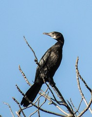 Cormorant in the tree? (Michael Khor) Tags: birds cormorant uploaded:by=flickrmobile flickriosapp:filter=nofilter vision:outdoor=099 vision:sky=0797