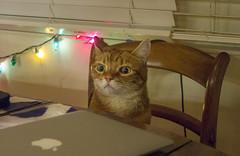 More? (A.Davey) Tags: cat orangecat elsie rescuecat
