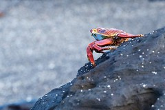 "_DSC6831      ""Sally Lightfoot Crab"" ""Zay   1.0 (ChanHawkins) Tags: santiago puerto am april sat lightfoot egas 13"" crab"" ""galapagos ""sally ""zayapa"""