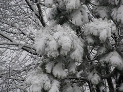 Heavy Snow (Lunken Spotter) Tags: trees winter columbus ohio snow cold tree ice pinetree frozen backyard suburban snowy freezing neighborhood freeze oh suburbs wintertime snowfall franklincounty wetsnow centralohio