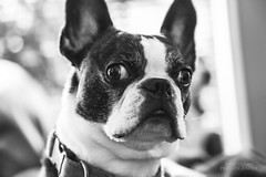 Portrait of a Boston (Jenny Onsager) Tags: blackandwhite pets boston canon bostonterrier bokeh mygearandme mygearandmepremium mygearandmebronze mygearandmesilver mygearandmegold mygearandmeplatinum jennyonsager