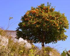 Oranger (lolapascoz) Tags: orange nature fruit landscape paysage oranger