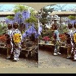SHOW ME THE OBI ~ ! Three Colorful Geisha Blend In at a Flower Show thumbnail