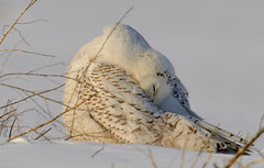 Snowy Owl (snooker2009) Tags: winter snow bird fall nature animal sunrise outdoors spring snowy wildlife raptor owl getty migration d800 thewonderfulworldofbirds photocontesttnc12 dailynaturetnc13