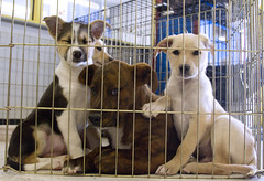 Sunny, Herbert and Zippy Behind Bars (Immature Animals) Tags: arizona rescue cute kids puppy fur mix pups puppies bars desert tucson shepherd adorable sunny az marshall whiskers foster derek behind soutwest pup adopt pacc barktucson