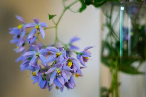 flowers plant m42 vase potatovine pentaconauto50mmf18