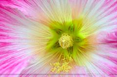 HOLLYHOCK (ArvinderSP) Tags: flower macro nature closeup photography spring hollyhock 2014 534 natureupclose arvinder nikon28105f3545d nikond7000 arvindersp arvinderspcom