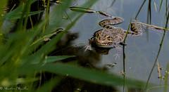 Crapaud (sebastienpeguillou) Tags: nature animal nikon frog toad tamron 90mm crapaud d3200