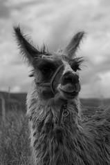 Llama (faltimiras) Tags: door sun sol inca stone puerta cares faces llama semi pre porta caras estatua ponce pedra enterrado monolito piedra tiwanaku tihuanacu monolit fraile kalasasaya tihuanaku