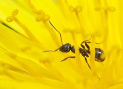 Exploring a Dandelion (Frode Falkenberg) Tags: norway ant dandelion ants bergen hordaland maur lvetann srborg
