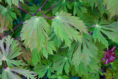 Spring leaves and fruits Acer Japonicum aconitifolium 'The Fern Leaf Full Moon  Maple' (Four Seasons Garden) Tags: uk england moon fern fruits leaves garden four japanese leaf spring maple seasons full acer april walsall japonicum aconitifolium
