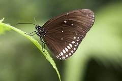 Butterfly (Djenzen) Tags: canon butterfly zoo jeroen jansen emmen vlinder dierentuin 40d djenzen