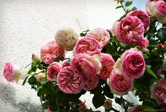 Ancient roses 2 (Helene Iracane) Tags: pink flowers roses france flower nature fleur beautiful rose wall fleurs spring ancient nikon pretty blossom maritime bunch sur blossoming printemps rosebush charente ancien anciennes rosier mornac seudre d3100