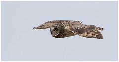 Short-Eared Owl (Pete Walkden) Tags: gloucestershire shortearedowl