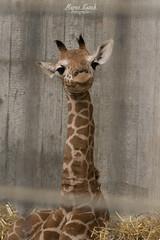 Giraffenbaby (marcokusch-fotografie) Tags: baby cute animal zoo sweet small afrika giraffe tierpark niedlich wilhelma flecken sse