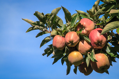 Apple tree by andrewmalone, on Flickr