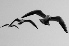 flotter dreier (kevin.habich) Tags: seagulls bird deutschland wings seagull hamburg vogel fliegen mven mve flgel