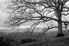 Biltmore Estate Tree (Near Biltmore Inn) (Ken Lane Photography) Tags: bw tree blackwhite nc asheville northcarolina biltmore lonetree biltmoreestate biltmorehouse wnc westernnorthcarolina nikonflickraward