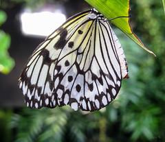 So beautiful (Jocey K) Tags: newzealand plants southisland otago dunedin butterflyhouse butterflys otagomuseum tripdownsouth dunedinstropicalforest