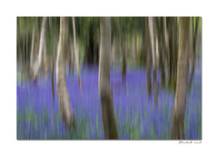 Evening in the bluebell wood (hehaden2) Tags: wood trees bluebells sussex icm heavenfarm intentionalcameramovement verticalpanning
