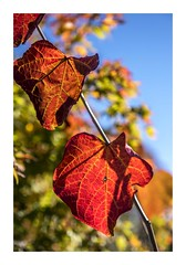 My Favourite Season of All (red stilletto) Tags: autumn red leaves leaf redleaf redleaves thedandenongs forestpansy