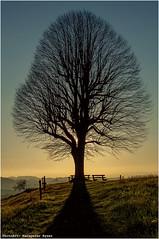 Baum in Hegen (Hanspeter Ryser) Tags: sonnenuntergang bern baum gegenlicht ahorn eriswil huttwil