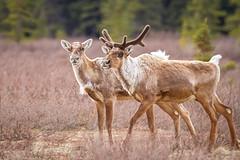 Scruffy caribou (frostnip907) Tags: nature alaska reindeer wildlife caribou tundra taiga