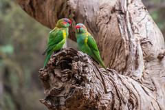 Catching up (GayanDeSilva) Tags: green bird beautiful parrot australia melbourne victoria musk playful lorikeets healsvillesanctuary2016aprilbirdsmusklorikeet