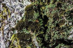 2016-04-25 01-27-59 (B,Radius8,Smoothing4)-Edit (Boy of the Forest) Tags: trees plants usa plant macro green america forest woodland botanical us woods unitedstates florida unitedstatesofamerica bark vegetation northamerica environment lichen fl 60mm plantae botany lichens symbiotic 2x symbiosis dadecity symbioticorganism venus60mm 60mmvenus