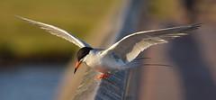 Forster's Tern / Sterna forsteri (chiccadeee) Tags: county orange bird birds chica birding reserve bolsa common tern ecological sterna forsters forsteri