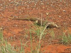 Sand Monitor (Varanus gouldii) (shaneblackfnq) Tags: sand desert reptile nt australia monitor lizard outback northern arid goanna territory barkly gouldii varanus tableland shaneblack
