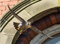Peregrine male, Belper, Derbyshire   DSC_3955.jpg (graehammounteney) Tags: