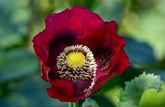 L' Ombra Mattutina - Papavero (G.Sartori.510) Tags: macro bokeh poppy amapola papavero pentaxk3 pentaxdasmc300mmf4edifsdm