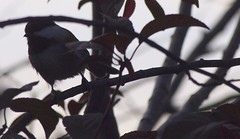 Plum Tree 20140812 (caligula1995) Tags: plumtree chickadee 2014