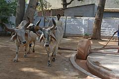 175-Inde India Gujarat 03/2016 (Chanudaud) Tags: india temple cow nikon asia ngc asie jain vache gujarat ahmedabad inde nationalgeographic subcontinent northindia indedunord hatheesingh souscontinent