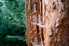 Redwood (martinstelbrink) Tags: leica tree 35mm germany sony spiderweb summicron bark nrw redwood sequoia baum metasequoia rinde spinnennetz f20 kaldenkirchen preasph leicasummicron35mmf20i nordrhenwestfalen leicasummicron35mmf20preasph sequoiafarm voigtlndervmeclosefocusadapter a7rii alpha7rii