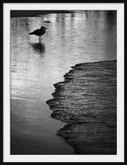 baywatch (Andrew C Wallace) Tags: blackandwhite bw coast shoreline australia victoria baywatch wilsonspromontory m43 whiskybay pacificgull microfourthirds olympusomdem5