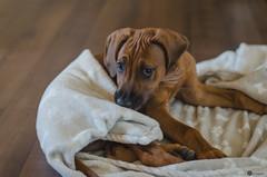 Tay II. (clau_kudelkova) Tags: dog pet playing cute beautiful adorable slovakia cuteness ridgeback rhodesian